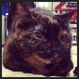Calico Cat for adoption in Great Mills, Maryland - Java