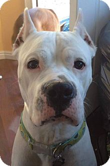 Dogo Argentino Dog for adoption in Henderson, Nevada - Ivory