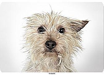 Yorkie, Yorkshire Terrier Dog for adoption in New York, New York - Penelope