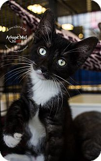 Domestic Shorthair Kitten for adoption in Charlotte, North Carolina - A..  Jet