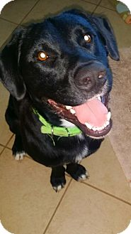 Labrador Retriever/Border Collie Mix Dog for adoption in Huntsville, Alabama - Dexter