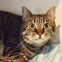 Domestic Shorthair Cat for adoption in Lincoln, Nebraska - Freddie