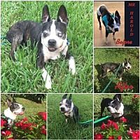 Adopt A Pet :: Mr Harold FL - Various Cities in the entire Southeast, TN