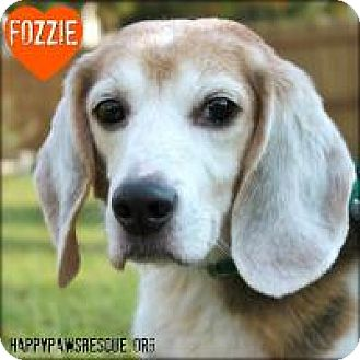 Beagle Dog for adoption in South Plainfield, New Jersey - Fozzie