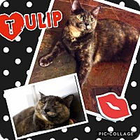 Domestic Shorthair Cat for adoption in Keller, Texas - Tulip