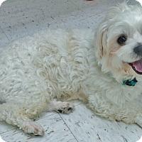 Adopt A Pet :: Cosmo - Chambersburg, PA