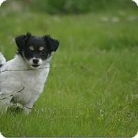 Adopt A Pet :: Penny - Longview, WA