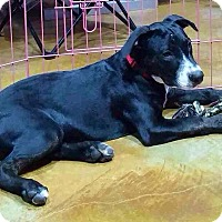 American Pit Bull Terrier Mix Dog for adoption in Beaumont, Texas - Otis
