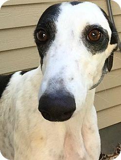 Greyhound Dog for adoption in Swanzey, New Hampshire - Emma