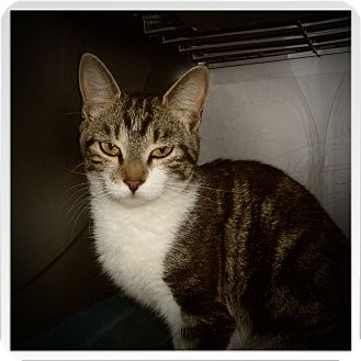 Domestic Shorthair Cat for adoption in Medford, Wisconsin - TESSIE
