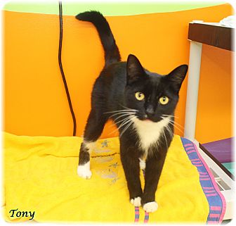 Domestic Shorthair Cat for adoption in Welland, Ontario - Tony