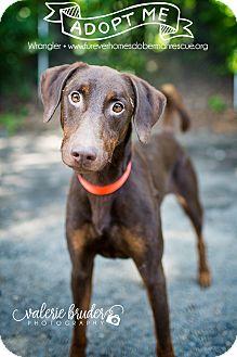 Doberman Pinscher/Labrador Retriever Mix Dog for adoption in Bath, Pennsylvania - Wrangler