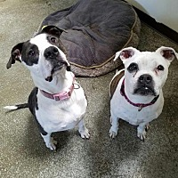 Pit Bull Terrier/Boxer Mix Dog for adoption in Sparks, Nevada - Sadie