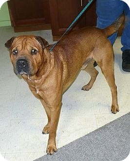 Shar Pei Mix Dog for adoption in Eastpoint, Florida - Bear