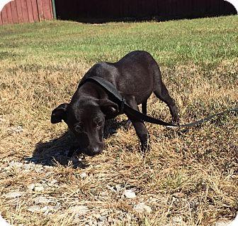 Labrador Retriever/Border Collie Mix Puppy for adoption in Beacon, New York - Bitsey