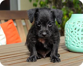 Terrier (Unknown Type, Small)/Chihuahua Mix Puppy for adoption in Los Angeles, California - Tacoma