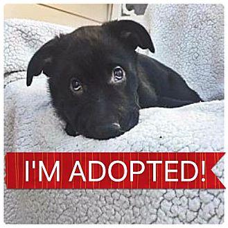 Labrador Retriever/Shepherd (Unknown Type) Mix Puppy for adoption in Regina, Saskatchewan - Onyx