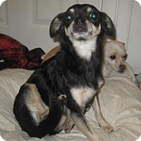 Adopt A Pet :: Tiny Dancer - Palm Harbor, FL