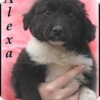 Adopt A Pet :: Alexa- Adoption Pending - Marlborough, MA