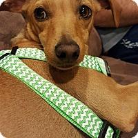 Miniature Pinscher/Chihuahua Mix Dog for adoption in Allentown, Pennsylvania - Emma (ETAA)