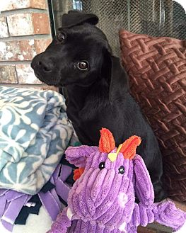 Terrier (Unknown Type, Medium)/Labrador Retriever Mix Puppy for adoption in Concord, California - Millie