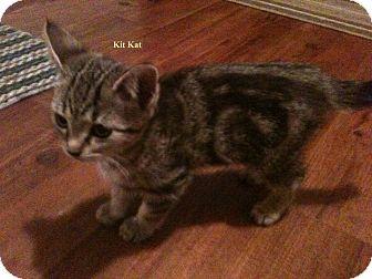 Domestic Shorthair Kitten for adoption in Huntsville, Ontario - Kit Kat - Born in October!