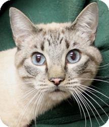 Siamese Cat for adoption in Sacramento, California - Blake