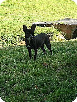 Chihuahua Dog for adoption in Albemarle, North Carolina - Abby