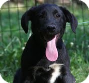 Border Collie/Labrador Retriever Mix Dog for adoption in Brattleboro, Vermont - Coal ($200 adoption fee)