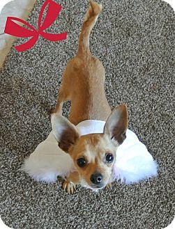 Chihuahua Dog for adoption in Las Vegas, Nevada - Josie