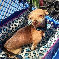Adopt A Pet :: Bonita - Fort Worth, TX