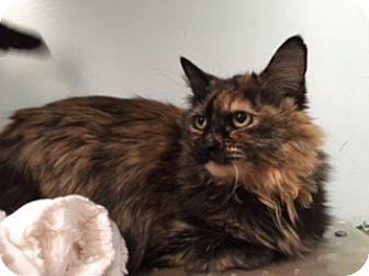 Domestic Longhair Cat for adoption in Diamond Springs, California - Tuna
