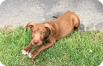 American Staffordshire Terrier/Labrador Retriever Mix Puppy for adoption in Ellaville, Georgia - Peanut (adoption pending)