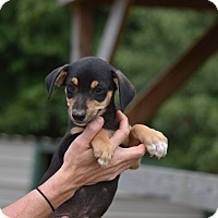 Adopt A Pet :: Destry - Groton, MA