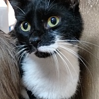 Domestic Shorthair Cat for adoption in Morganton, North Carolina - Jimmy