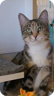 Domestic Shorthair Cat for adoption in Bridgeton, Missouri - Dolly