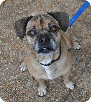 Pug/Beagle Mix Dog for adoption in Atlanta, Georgia - Elton