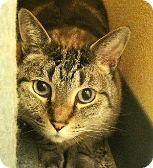 Siamese Cat for adoption in Eastsound, Washington - Frankie