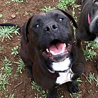 Adopt A Pet :: BUFFY - Valley Village, CA