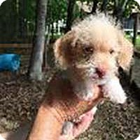 Wirehaired Fox Terrier/Dachshund Mix Puppy for adoption in Chantilly, Virginia - Dox Terrs 2