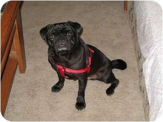 Pug Dog for adoption in Windermere, Florida - Charlie