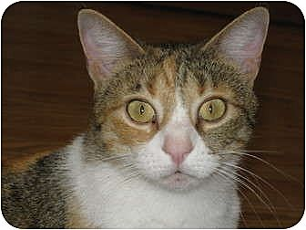 Calico Cat for adoption in AUSTIN, Texas - Tess