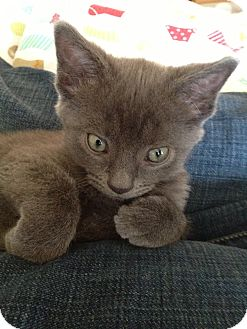 Domestic Shorthair Kitten for adoption in Marietta, Georgia - Copy