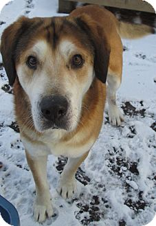 Great Pyrenees/Husky Mix Dog for adoption in Forked River, New Jersey - Hugh