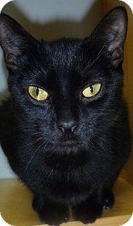 Domestic Shorthair Cat for adoption in Hamburg, New York - Callista