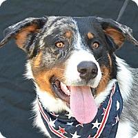 Adopt A Pet :: Denzel Washington - Plano, TX