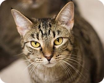 Domestic Shorthair Cat for adoption in Circleville, Ohio - Kara