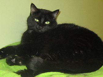 Domestic Shorthair Cat for adoption in Toledo, Ohio - Izzy