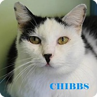 Adopt A Pet :: Chibbs - Indianapolis, IN