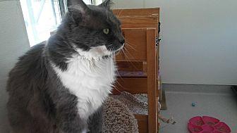 Domestic Mediumhair Cat for adoption in El Cajon, California - Cloudy